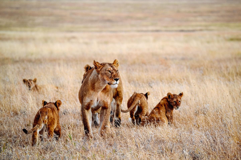 Big-pride-Soit-Lemontonye-Serengeti-Allan-Earnshaw-MR namiri plains
