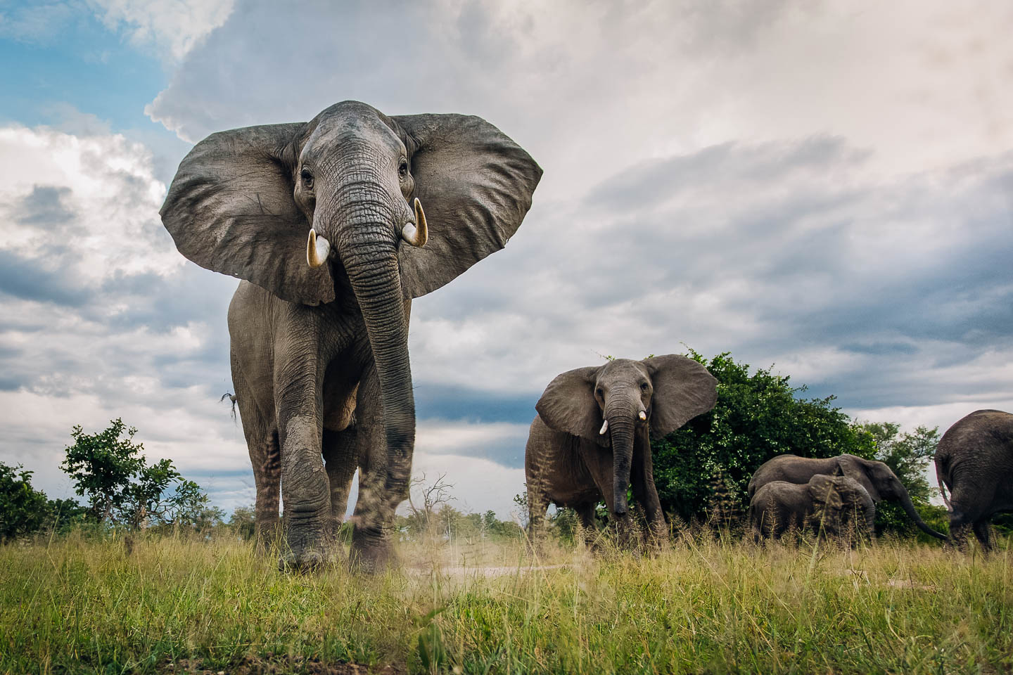 best time to visit zambia Elephants photographed with a remote camera-buggy (BeetleCam). South Luangwa National Park, Zambia.