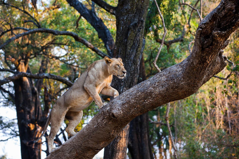 lion-climbing-tree-south-luangwa-zambia-timbuktu best time to visit zambia