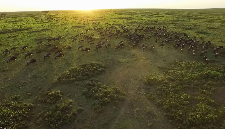great-migration-wildebeest-during-sunrise