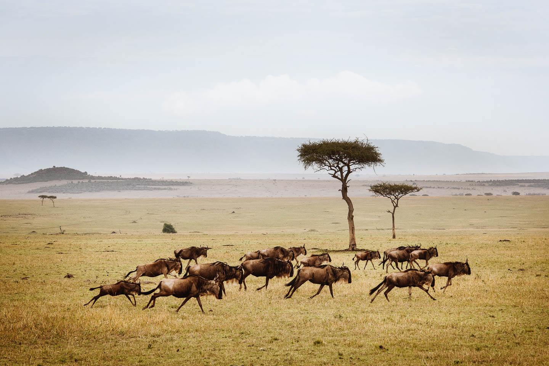 wildebeest-herd-running-serengeti-eliza-deacon-mr great migration