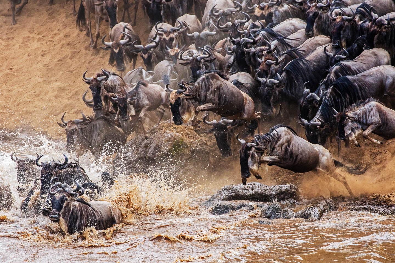 angama-mara-river-crossing-wildebeest-kenya-timbuktu-travel great migration