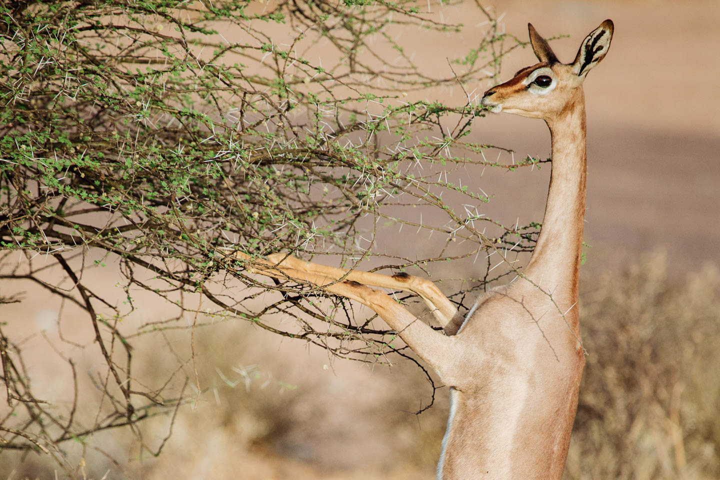 east africa safaris kenya-samburu-national-park-special-five-long-necked-gerenuk-timbuktu-travel