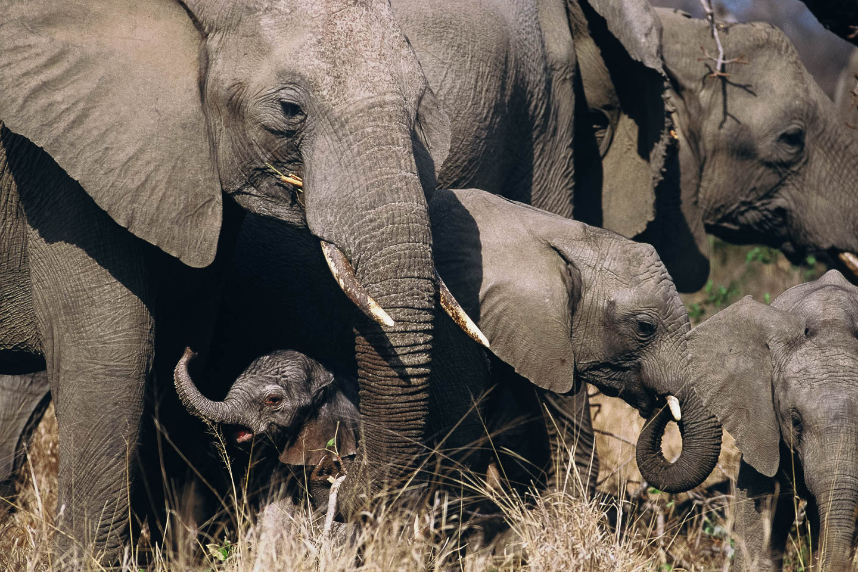 christmas safari elephant calf herd new born kruger south africa