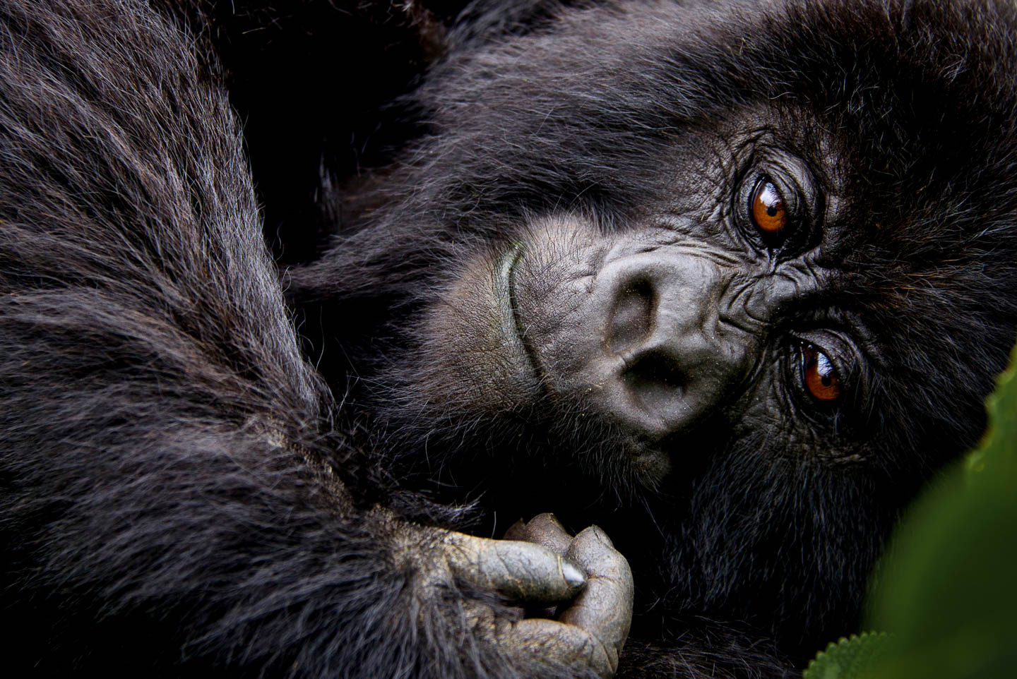 best Africa honeymoons Rwanda gorilla trekking volcanoes national park